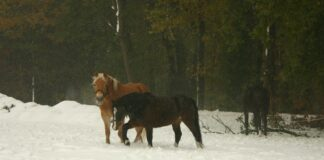 pony's in de winter