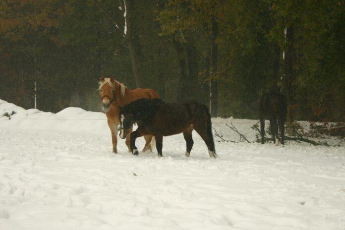 pony's in de winter