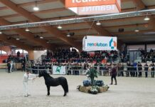 Welsh hengstenkeuring 2019, chk, Powerfuls Zenjiro