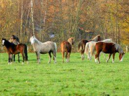 pony's in de herfstwei