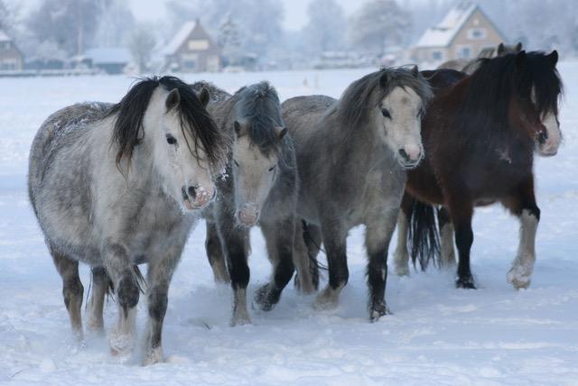 Welsh A merries in de sneeuw